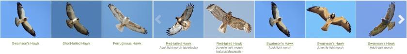Similar Hawks